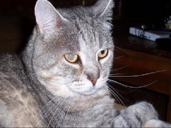 maladie cataracte chat