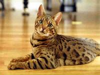 peau du chat