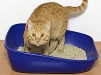 système urinaire du chat