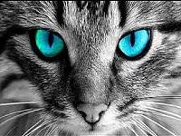 yeux du chat
