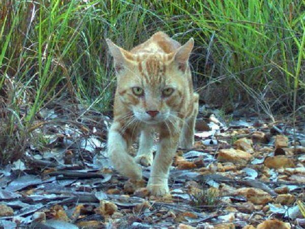 Chat sauvage chassant en Australie