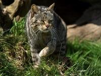 chat haret d'Australie