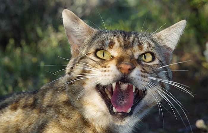 Le chat sauvage d'Australie