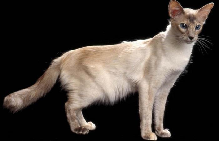 chat race Balinais