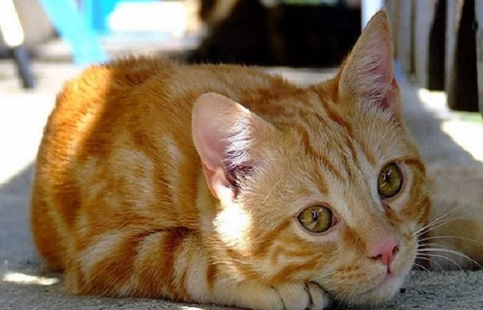 chat de race Ceylan