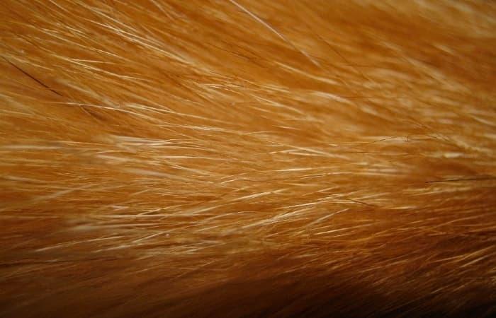 peau poil chat