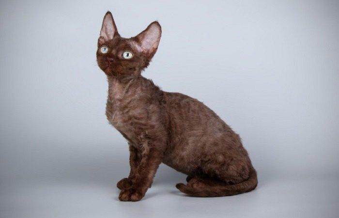 chat de race Devon Rex