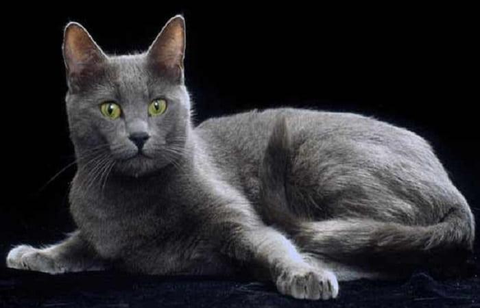 chat de race Korat