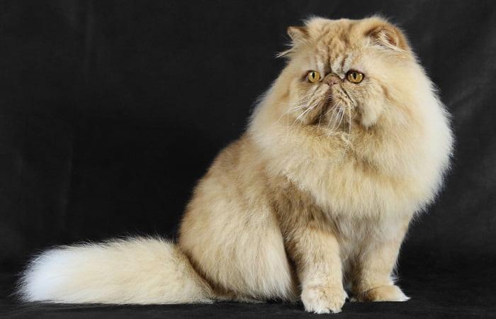 chat de race Persan