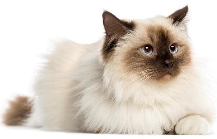 race chat Sacré de Birmanie