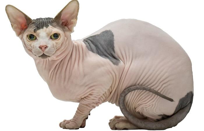 race de chat Sphynx