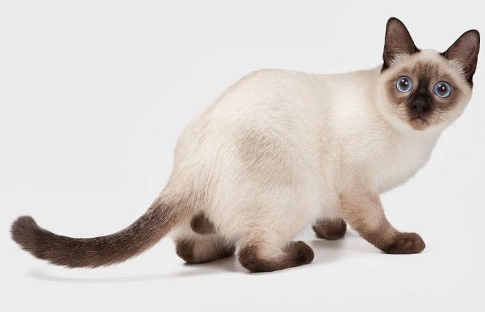 race de chat Thaï