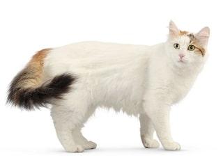chat Turc du lac de Van