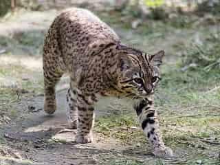 chat de Geoffroy
