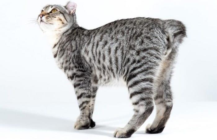 race de chat Highland Lynx