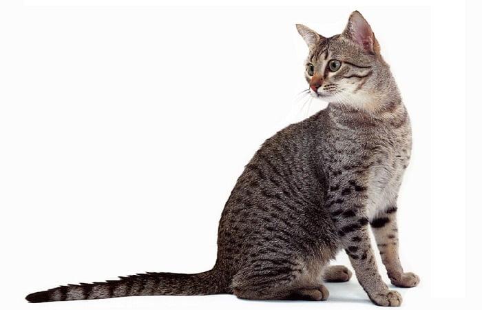 race de chat Mau Arabe