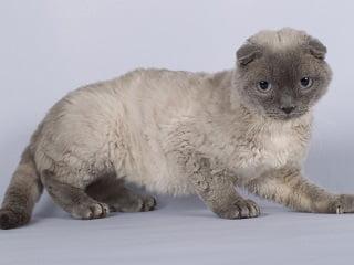 pudelkatze ou chat-caniche