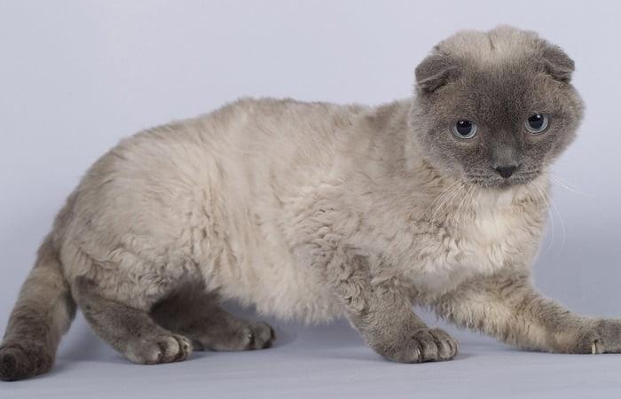 chat Pudelkatze ou Chat Caniche