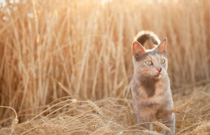 L'épillet : Un réel danger pour votre chat