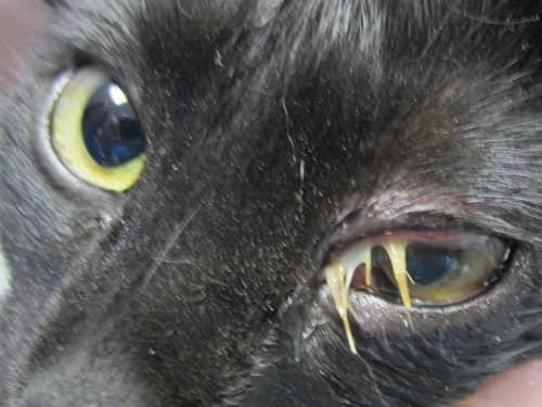 épillet coincé dans l'œil du chat