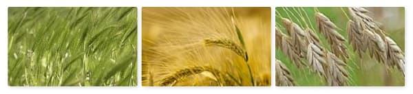 épillet orge blé avoine : un danger pour le chat