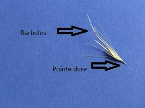 schéma d'un épillet