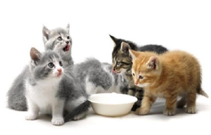 Alimentation chaton en croissance