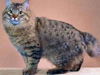 chat de race American Bobtail