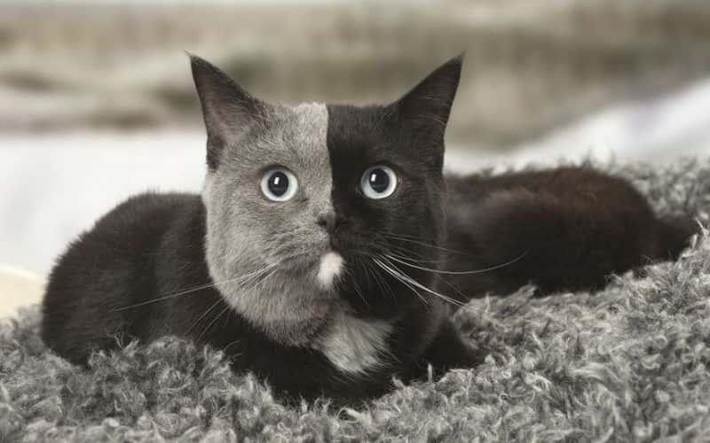 Les 10 races de chat les plus rares
