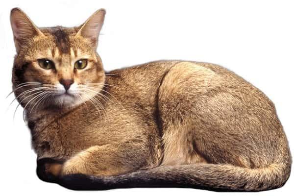 chat rare Ceylan