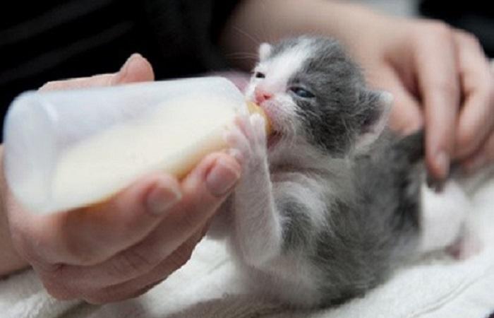Alimentation du chaton non sevré