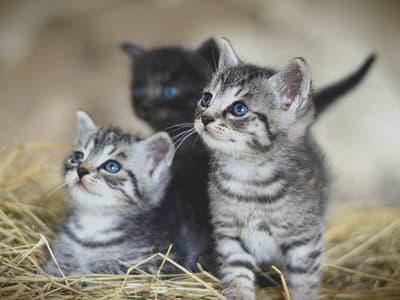 chatons de race American Shorthair