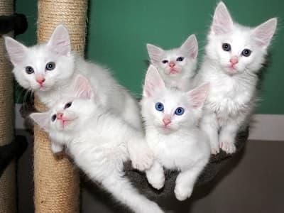 chatons de race Angora Turc