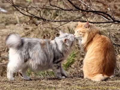 chats de race Kurilian Bobtail