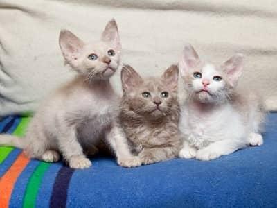 chats de race Laperm