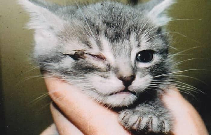 maladie clamydiose du chat