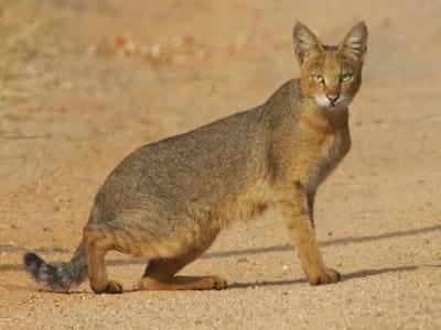 chat des Marais (Felis chaus)