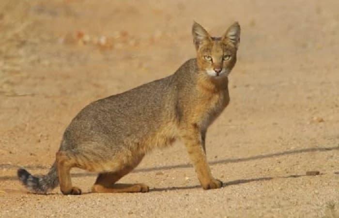 félin sauvage Chat des Marais