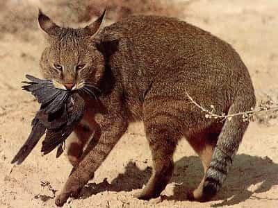 chat des Marais attrapant un oiseau
