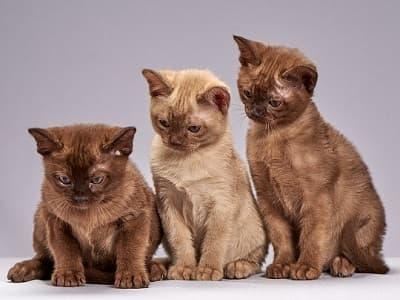 chatons race Burmese