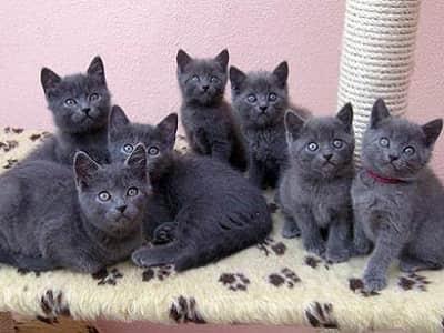chatons de race Chartreux