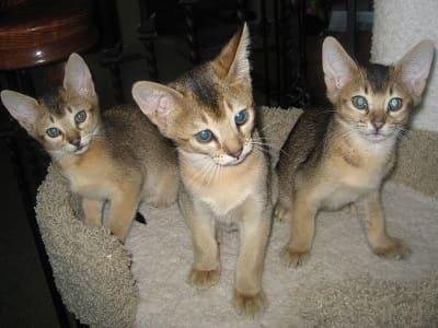 chatons de race Chausie