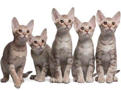 race chatons Ocicat