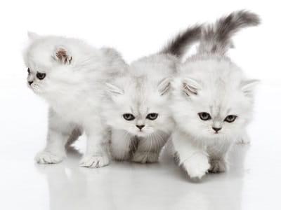 race Persan - chatons