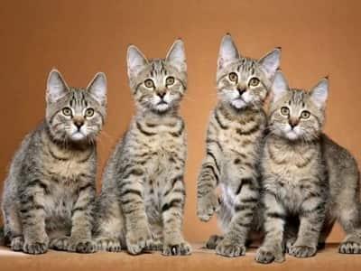 chatons de race Pixie-Bob
