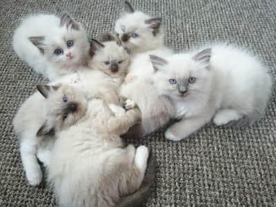 chatons de race Ragdoll