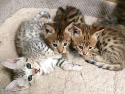 chatons de race Savannah