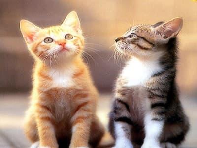 chats de race Ceylan