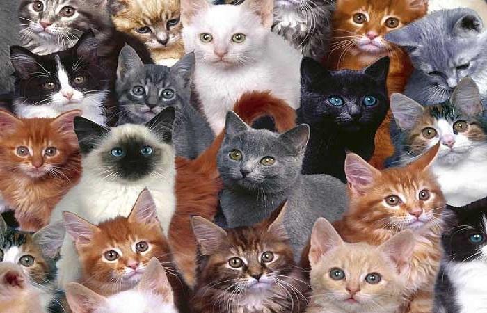 différents types morphologiques du chat