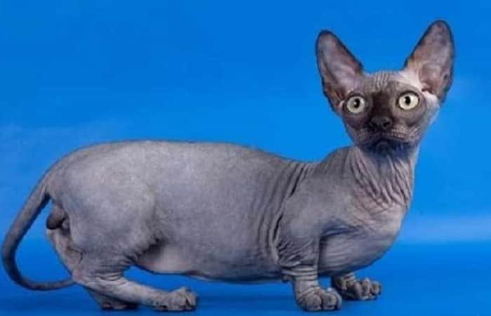 chat de race Minskin